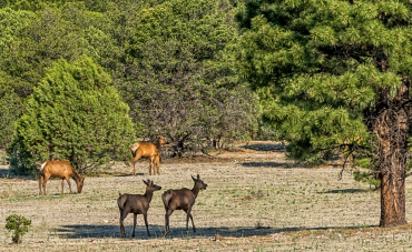 Elk youngsters