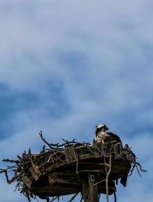 Osprey mom