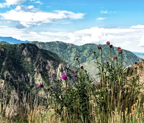 Thistles on the Black Canyon of CO