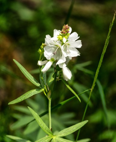 wildflower, Leche Creek Tr, San Juan Natl Forest