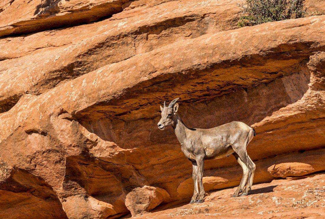 Colorado National Monument-Big Horn Sheep Ewe