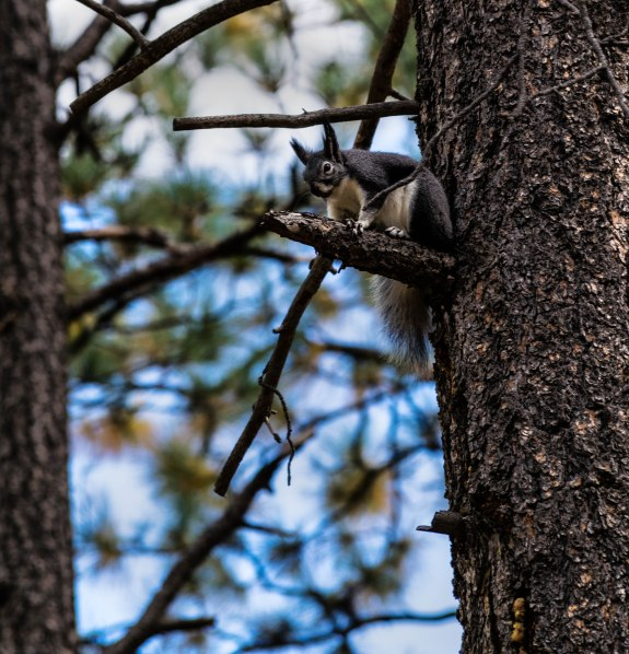 Aberts Squirrel in Mancos