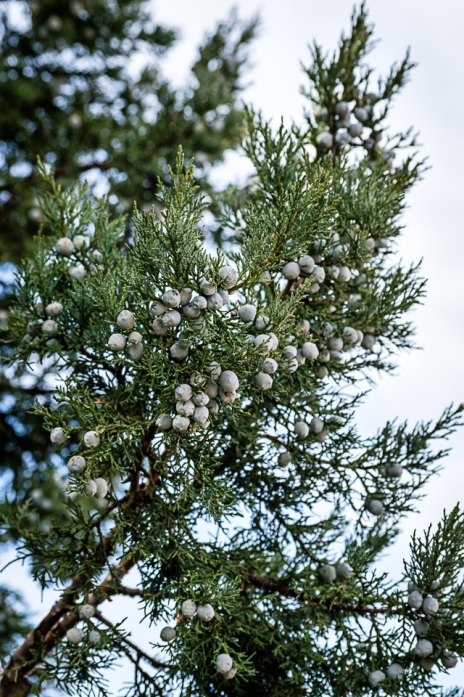 Fragrance of juniper.2-17-18