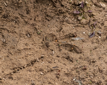 Beaver track on the Gila