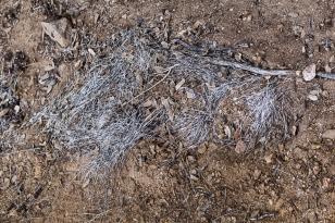javalina hair - hunter-killed