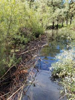 Beaver dam on Gila