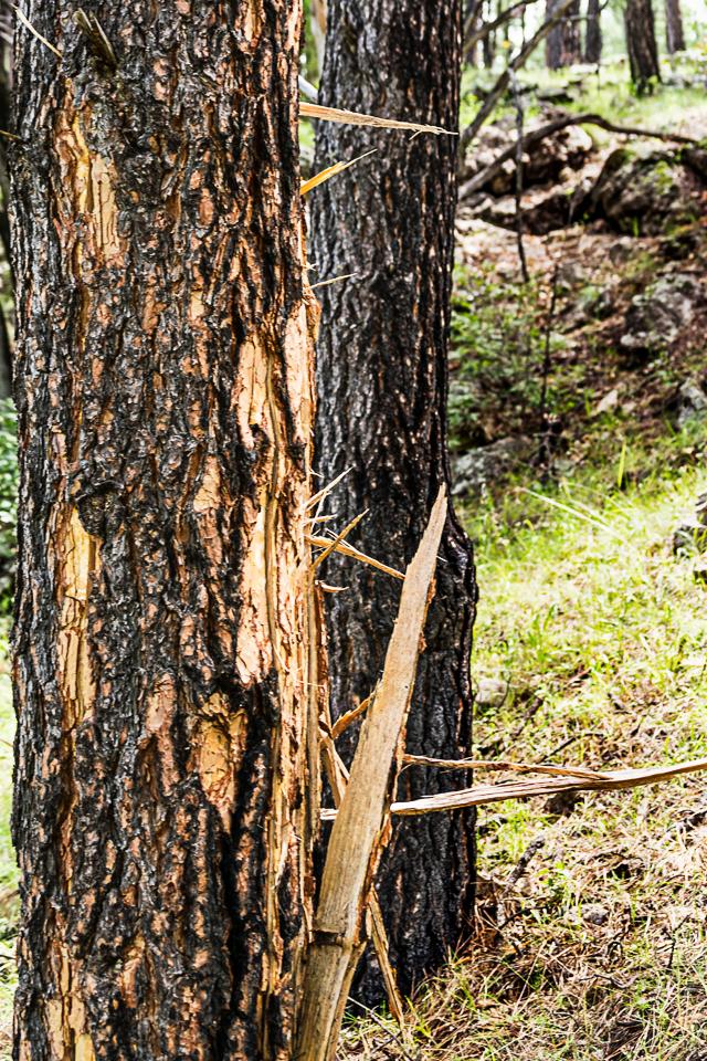 Lightning-struck tree.1