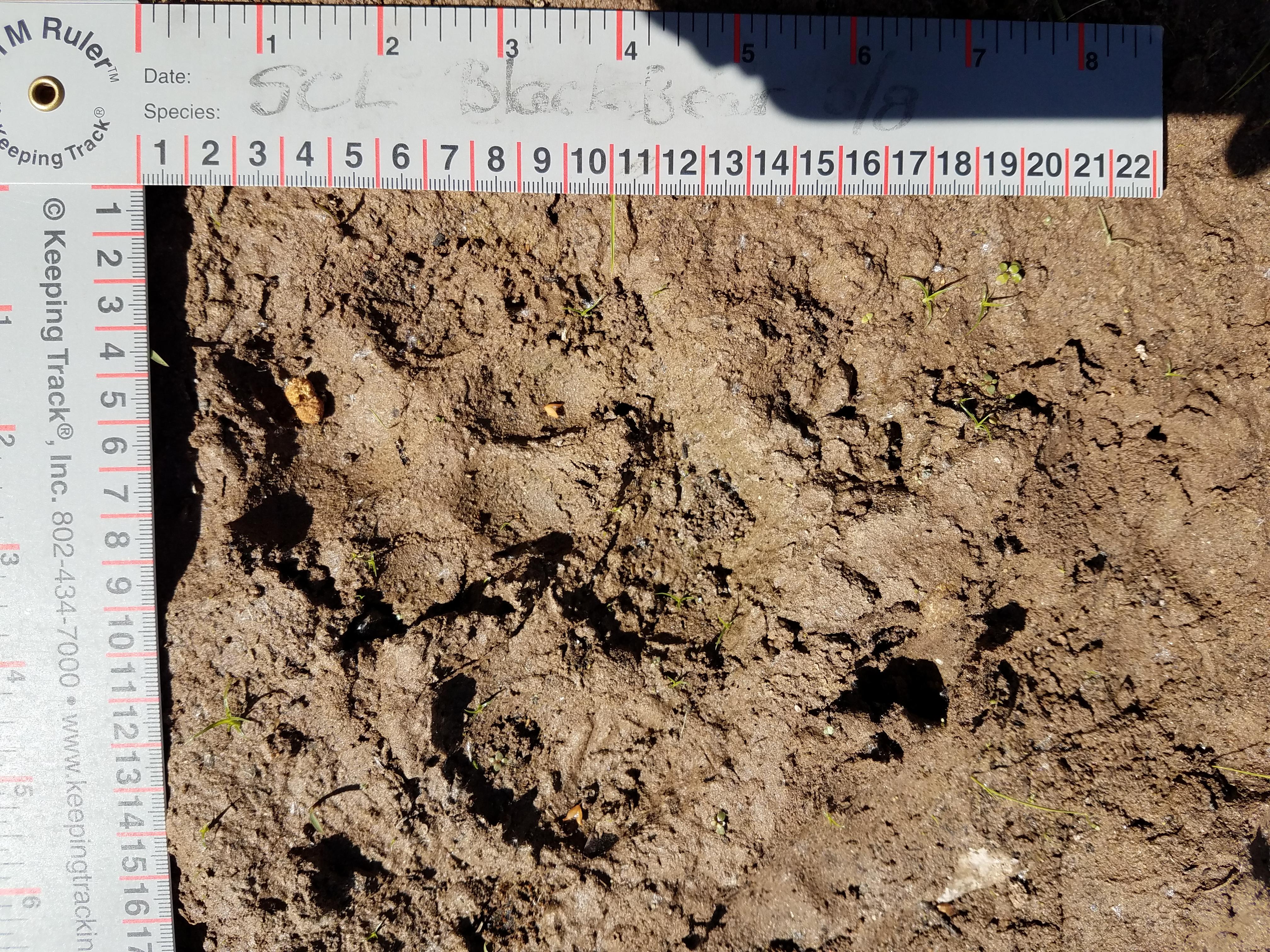 mountain lion.Gila River IBA.6-7-19