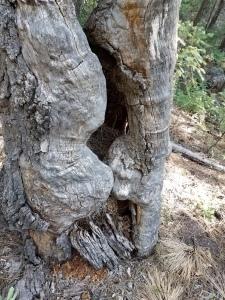 ancient tree w rodent nest.McMillan trail.6-2019