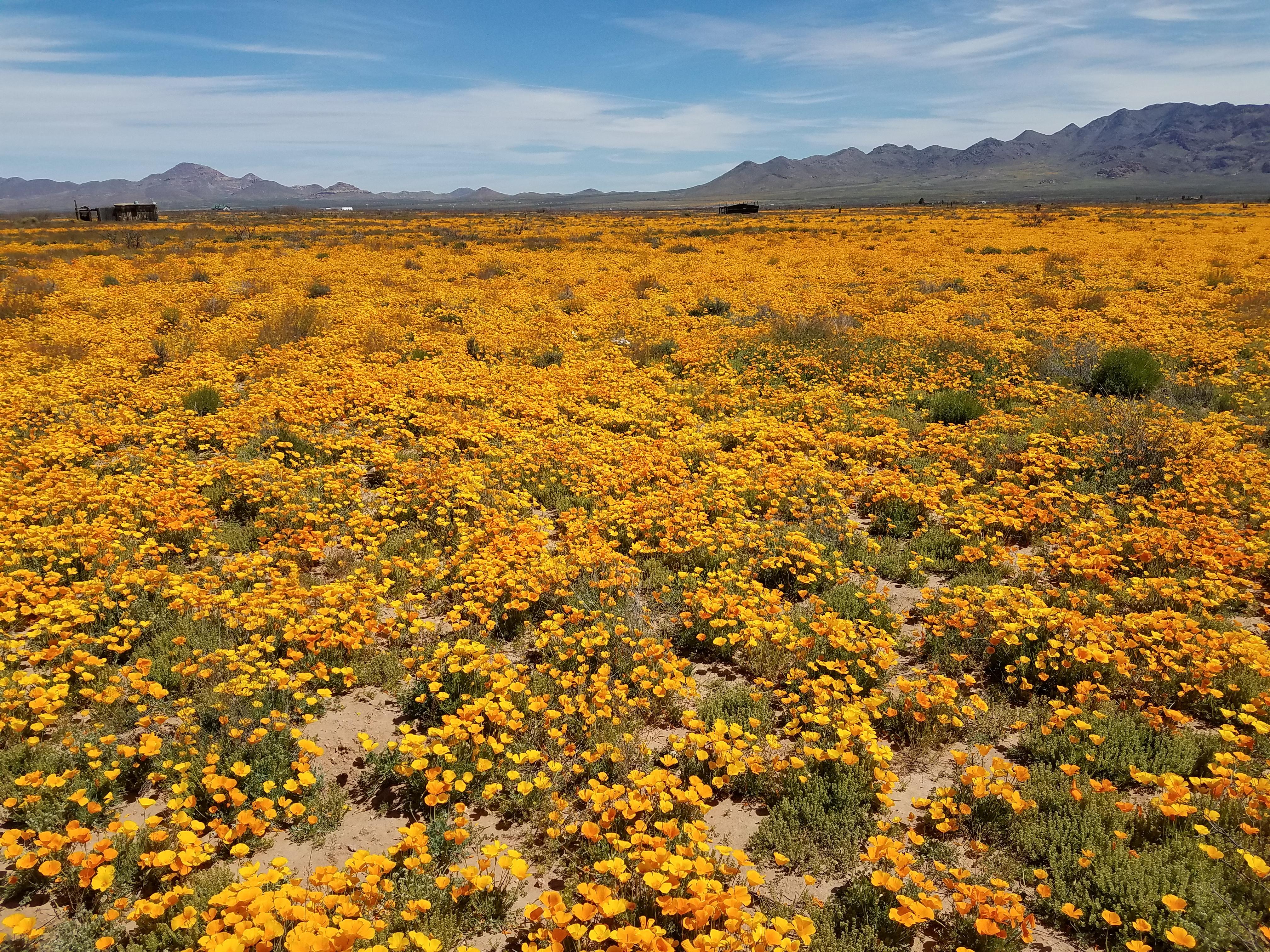 Field of poppies.3.Portal.3-31-20